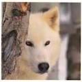 Snow-Wolf18