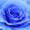Blue_Rose198
